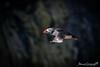 Skomer Puffin (Anthony de Schoolmeester) Tags: atlanticpuffin puffin flyingpuffin bird birdinflight wildlife wildbird wildlifephotography nature naturephotography nikond500 nikonafs20050056e skomer skomerisland westwales pembrokeshire seabirds waterbirds