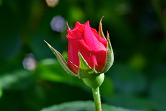 D75_1741 (jswilkinson) Tags: rose macro nikond750 micronikkor105mm