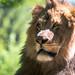 Lion Mane Closeup