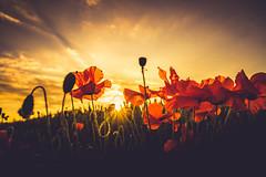 Summer Vibes (der_peste (on/off)) Tags: sunset poppies poppy sundown sky dof lowangle backlight bokeh nature sunstar sun sunlight