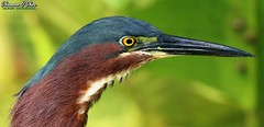 Martin Van Buren (Shannon Rose O'Shea) Tags: shannonroseoshea shannonosheawildlifephotography shannonoshea shannon greenheron heron bird beak colorful bokeh yelloweye green profile closeup close wildwoodlake harrisburg pennsylvania dauphincounty nature wildlife waterfowl art photo photography photograph wild wildlifephotography wildlifephotographer wildlifephotograph flickr wwwflickrcomphotosshannonroseoshea fauna headfeathers canon canoneos80d canon80d eos80d 80d canon100400mm14556lisiiusm butoridesvirescens femalephotographer girlphotographer womanphotographer shootlikeagirl shootwithacamera throughherlens feathers outdoors outdoor canal