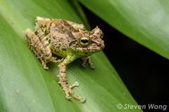 Mossy Bush Frog (Philautus macrocelis) (Steven Wong (ATKR)) Tags: mossy bush frog philautus macrocelis sabah malaysia herping herp steven wong siew por atkr45 kinabalu national park highlands mountain montane