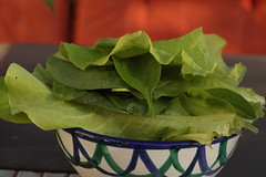 lettuce & spinach (Sujit & Roz) Tags: lettuce spinach colour garden produce homegrown delicious