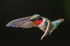 Ruby Throated Hummingbird (Vic Zigmont) Tags: hummmingbird rubythroatedhummingbird birdinflight nikond500