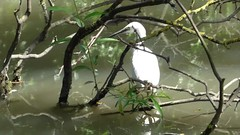 Clip  Egret  'It was That Big' (nannyjean35) Tags: egret bird lake trees twigs branches water fish