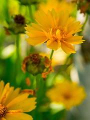 Yellow daisies (Raoul Pop) Tags: garden summer color plants outdoors sunlight yellow evening daisy home