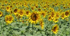 Zonnebloemen/Sunflowers (Meino NL) Tags: zonnebloem sunflower bloemen flowers summer zomer torroellademontgrí estartit baixempordà spain costabrava catalunya
