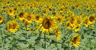 Zonnebloemen/Sunflowers