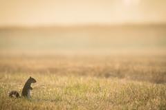 Little things (Stickyemu) Tags: wildlife nature squirrel sunrise backlight field goldenhour nikond500 minimalist minimal minimalism nikon200500mmf56