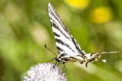 Iphiclides podalirius (Jaume Bobet) Tags: iphiclides podalirius lepidoptera papilionidae mariposa insecto macro bobet canon sigma