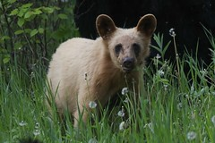 Blond Black Bear Male Yearlng (mobull_98) Tags: blackbear blond yearling male