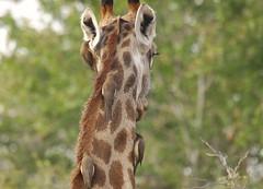 Someone sitting on your neck? (foto.peter.schneider) Tags: africa southafrica green safari nature africanwildlife naturephotography gamedrive aov riding lovelycolors neck gamelodge aroundtheworld travelblogger artofvisuals unterschleissheim travelphotography wildlifephotography giraffe bird animals travel wildlife