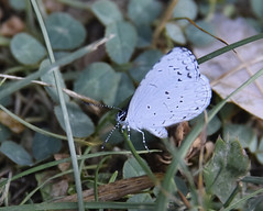Summer Azure Butterfly (Jo Zimny Photos) Tags: butterfly summerazure lightblue spotted tiny inthebackyard bug flying insect pretty