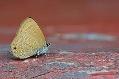 Ciliate Blue (mishko2007) Tags: antheneemolus kaengkrachan thailand 105mmf28