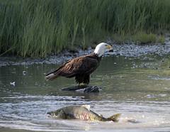 Bald Eagle with Chum Salmon up the creek (Gillfoto) Tags: eagle salmon creek alaska juneau feeding eat prey haliaeetusleucocephalus chum dog bird spawning
