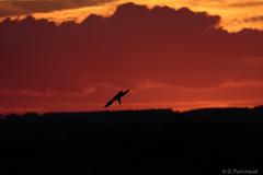 Tern at Sunset (Dpanchaud) Tags: 2018 northumberland england sunset bird amble 4 europe tern silhouette