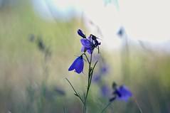 Wildflowers (Stefano Rugolo) Tags: stefanorugolo pentax k5 pentaxk5 smcpentaxm50mmf17 ricohimaging colors backlight bokeh wildflowers manual manualfocuslens manualfocus vintagelens pentaxprime hälsingland sweden sverige blue campanularotundifolia harebells