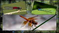 Summer By The Water (Kerstin Winters Photography) Tags: collage newmexico sommer summer insekt insects sigma nikondigital nikondsl flickrnature flickr nature natur naturephotography naturfotografie nahaufnahme colors outdoor closeup teich pond water wasser libellen dragonfly