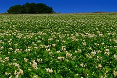 Trimingham (A Picture Of Norfolk) Tags: trimingham norfolk coast countryside landscape field farm crop summer pastonway