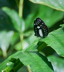 DSC_0494 (yakovina) Tags: silverseaexpeditions indonesia papua tritonbay