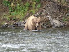 DSC07517 (jrucker94) Tags: alaska katmai katmainationalpark nationalpark bear bears grizzly grizzlybear brooksriver nature outdoors
