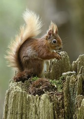 Tufty (maddiver58) Tags: red squirrel brownsea island mammal dorset