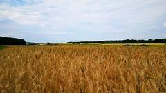 Aratásra váró gabonaföldek (Szombathely közelében) (milankalman) Tags: countryside nature landscape summer