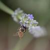 macro-2 (margaux1016) Tags: jaune insects bee abeille nature macrophotography macro nikon nikond750 garden flowers little lavender lavende green purple animal flore faune