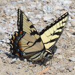 Easter Tiger Swallowtail thumbnail