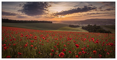 The best view from a poppy field (stephen.darlington) Tags: arundel commonpoppy england flora flower houghton papaverrhoeas plant poppies poppyfield westsussex red field nature summer landscape sunrise southdowns sussex