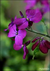 From My Garden... (angelakanner) Tags: canon70d yongnuo 50mmlens closeup flowers garden longisland