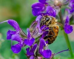 Honey Bee (corkemup52) Tags: beatrice beatricenebraska bugs bees honeybee insects outdoors nikond7000 nature nebraska 200500
