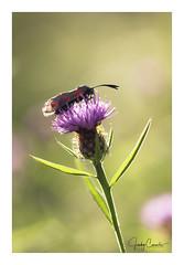 Evening glow sunlight (cornelis1980) Tags: flower butterfly vlinder bloem paars groen rood zwart black red dots green purple macro close up foto photo picture image evening sunlight warm tones bokeh animal