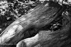 Eat me. Love me. Kill me. (1968photo) Tags: nature stockholm sweden sverige natur outdoor outdoors life canon 1968photo flesh fit match wood intimate rest resting old trees träd forest skog embrace love blackandwhite bw svartvit sv monochrome monotone together