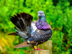 Talk to the Tail (Steve Taylor (Photography)) Tags: tail talktothehand bird pigeon green mauve blue brown newzealand nz southisland canterbury christchurch summer sunny sunshine
