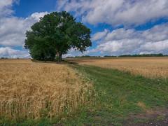 Kein Bett im Kornfeld (BeMo52) Tags: bäume clouds corn feldweg gerste kamille kornfeld landscape trees woken