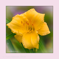 Day Lily 2018.jpg (tomh2m) Tags: lilys daylily nature lily summer flower garden yellow bloom day fresh closeup color beautiful blossom floral landscape decoration botanical blooming yellowlily gardenflower yellowflowers naturebackground gardening earlysummer