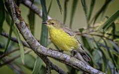 white-throated gerygone (Fat Burns ☮ (gone bush)) Tags: whitethroatedgerygone gerygonealbogularis smallbird yellowbird bird australianbird fauna australianfauna nikond500 nikonafs80400mmf4556gedvr nature outdoors