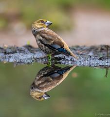 Mirror mirror pt1 (jacobsfrank) Tags: birdsnature green flickr frankjacobs jacobsfrank nikon nikond5 nature natuur vogel groen spiegel water reflection reflectie belgie belgium kalmthout vink fitch