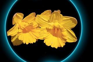 Sonnenberg Gardens & Mansion Historic Park ~ Yellow Daffodil  ~ Canandaigua NY