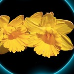 Sonnenberg Gardens & Mansion Historic Park ~ Yellow Daffodil  ~ Canandaigua NY thumbnail