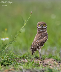 Burrowing Owl (dbking2162) Tags: birds bird beauty florida owls owl burrowingowl wildlife nature nationalgeographic green explore animal