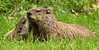 Mama and Baby (djsime) Tags: woodchuck baby greeting summer albertlea myrebigislandstatepark minnesota southernminnesota statepark