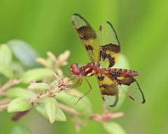 Eastern Amberwing (Perithemis tenera) (Mary Keim) Tags: taxonomy:binomial=perithemistenera centralflorida marykeim seminolestateforest