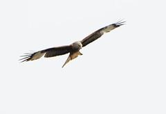 DSC_0631 (PeaTJay) Tags: nikond300s tamron reading lowerearley berkshire outdoors nature birds birdsofprey redkite