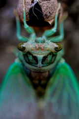 Emergence (dianne_stankiewicz) Tags: insect nature wildlife emergence cicada hmm macromondays linesymmetry macro coth5