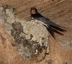 KUS850-8506 (Weinstöckle) Tags: rauchschwalbe vogel nest junge