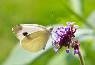 Schmetterling/ Butterfly