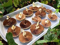 Wild Harvest - Mushrooms_9653.jpg (Rikx) Tags: mushrooms wildharvest wild harvest garden homegarden fungi adelaide southaustralia