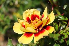 Maig_0129 (Joanbrebo) Tags: barcelona catalunya españa es park parque parc parccervantes garden jardí jardín flors flores flowers fiori fleur blumen blossom rose rosa 17èconcursinternacionalderosesnovesdebarcelona canoneos80d eosd efs18135mmf3556is autofocus